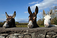 Kerry Bog Pony Show- A few curious donkeys watch from a distance at the 1st Kerry Bog Pony Show in the Kery Bog Village at Glenbeigh, County Kerry.<br />
