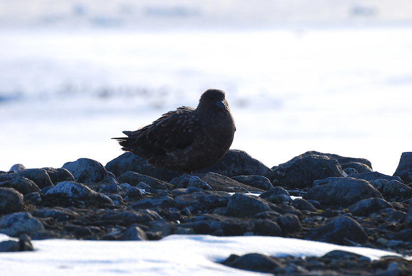 Skua waiting - Half Moon Bay Island