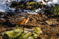 American Woodcock - Scolopax minor - camouflage. An upland shorebird that hides in forest thickets during the day. Snow still on forest floor greets Spring migrant  in Nova Scotia, Canada.