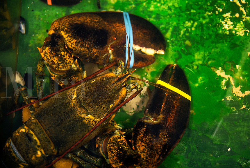 Live lobster in a seafood market holding tank.