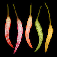 X-ray image of Chili pepper.  Chili pepper is the fruit of plants from the genus Capsicum, members of the nightshade family, Solanaceae.