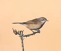 Western Subalpine Warbler - Sylvia cantillans