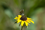 butterfly, Rocky Mountain Blue, Euphilotes, ancilla, nature, foliage, insect, Cow Creek watershed, Rocky Mountain National Park, summer, Rocky Mountains, Colorado, USA