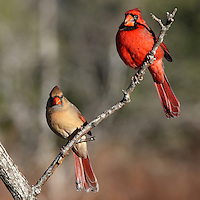 Male/female Cardinal pair on a sunny morning. Part of the exhibit at the McNeil Avian Center at the Philadelphia Zoo.
