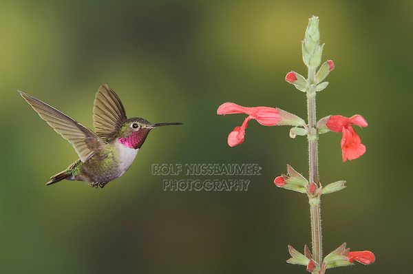 Broad-tailed Hummingbird, Selasphorus platycercus,male in flight feeding on Red Sage(Salvia sp.) ,Rocky Mountain National Park, Colorado, USA