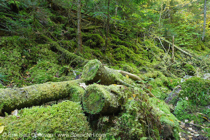 Spruce - moss wooded talus community at Ice Gulch along Ice Gulch Path in Randolph, New Hampshire USA. Ice can be found in this ravine year round.