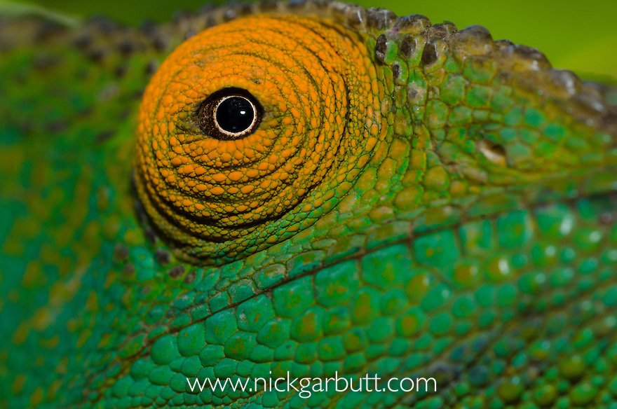 Female Parson's Chameleon (Calumma parsoni) - close up of the eye. Ranomafana NP, south eastern Madagascar