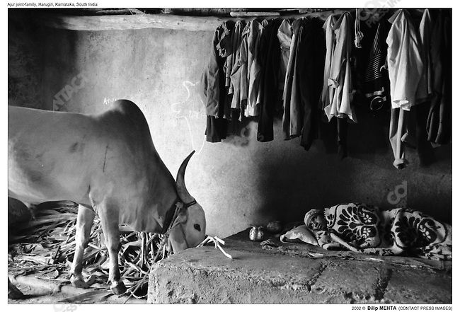The cow shed is shared with the family of the elder son of the patriarch. His wife, who was unwell and running high fever is tucked in under a blanket on a raised earthen platform.