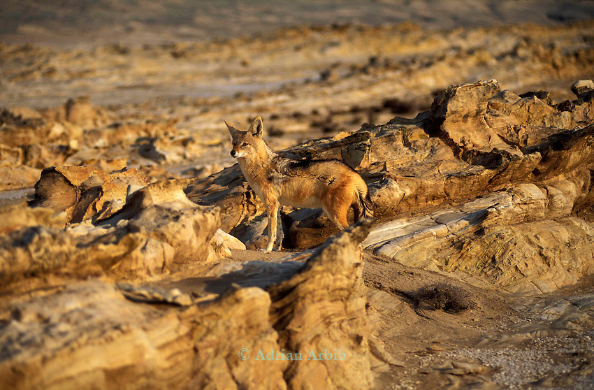 Jackal in the Namib diamond region  , Skeleton Coast Namibia.  This region is off limts due to Diamond mining activiety by De Beers consequently Jackals have no fear of human presence