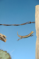 An Arizona fence lizard jumping from a cholla cactus skeleton to a fence post