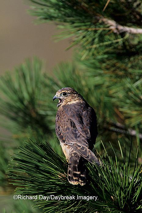 00813-00105 Merlin (Falco richardsonii) immature in pine tree   CO