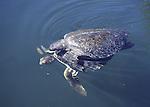 green sea turtle mating