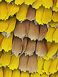Wing scales of a Butterfly. SEM
