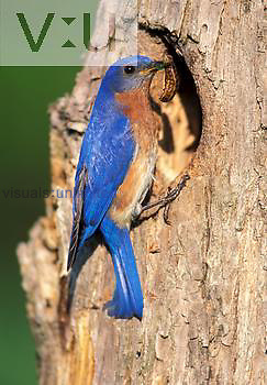 Male Eastern Bluebird at nest cavity with food for nestlings.