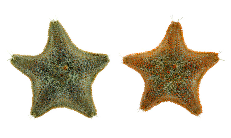 Cushion Star - Asterina gibbosa