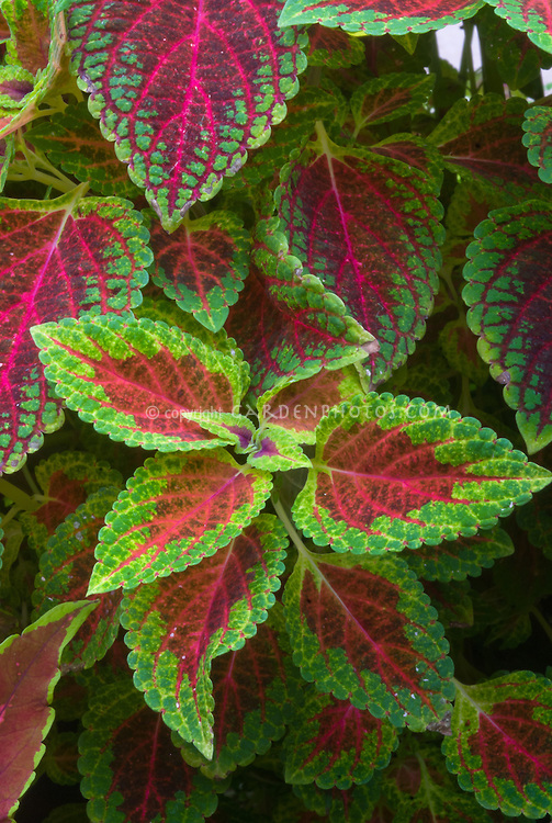 Solenostemon Coleus 39 Red Dwarf 39 Plant Flower Stock