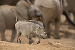 Warthog, Phacochoerus aethiopicus, Addo Elephant National Park, South Africa
