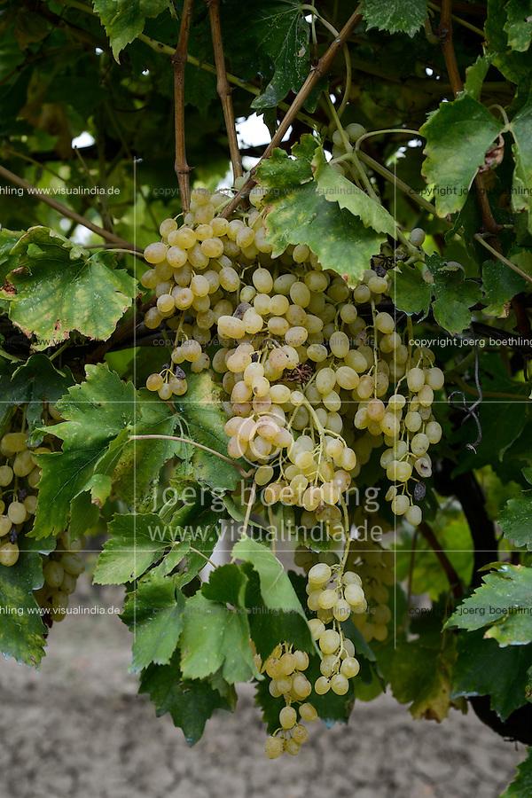 TURKEY Manisa, cultivation of organic grapes for production of raisin and sultana, grapes at farm / TUERKEI, Anbau von Weintrauben fuer Verarbeitung zu Bio Trockenobst Rosinen und Sultaninen fuer die Firma Rapunzel, Traueben am Rebstock