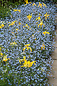 Yellow Tulip 'West Point' and Forget-me-nots, Great Dixter, early May.