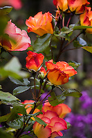 Orange flower rose, Rosa 'Playboy' flowering in California garden