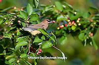 01415-02902 Cedar Waxwing (Bombycilla cedrorum) eating berry in Serviceberry Bush (Amelanchier canadensis), Marion Co., IL