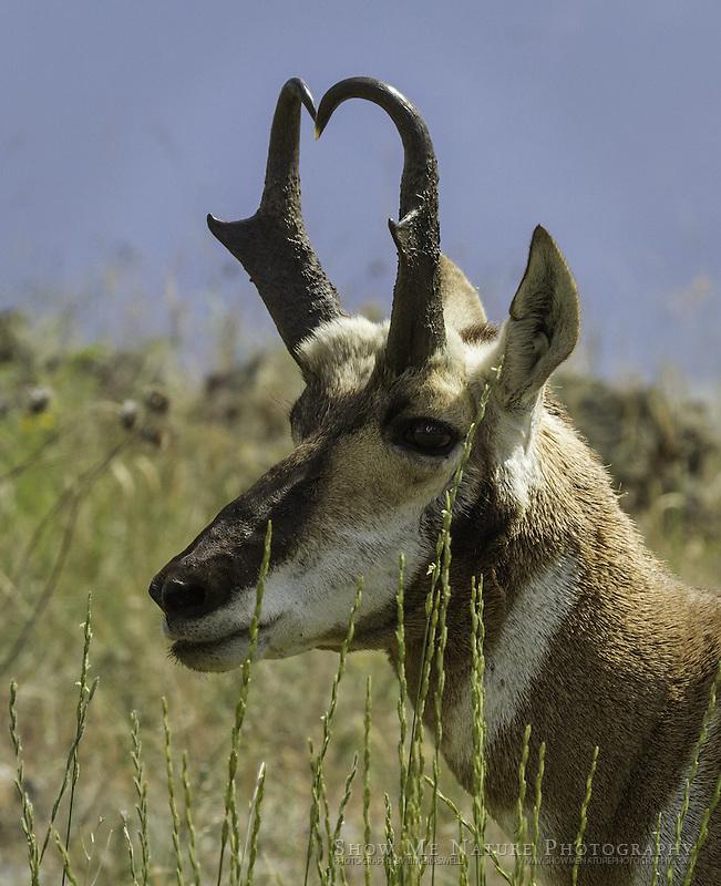 Pronghorn on the prairie