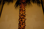 A palm tree in Sun City, Arizona.