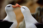 A close up portrait of two Albatross.