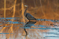 Courtesy photo/TERRY STANFILL<br />WADING, WAITING<br />A great blue heron wades the shallows for a meal at Silom Springs Lake. Terry Stanfill of the Decatur area took the picture in mid February.