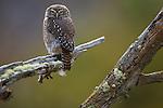 Ferruginous Pygmy-owl, Chile