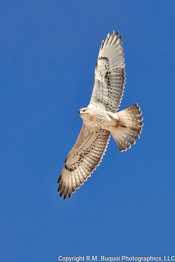 Juvenile Ferruginous Hawk in flight