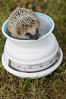 European hedgehog, Erinaceus europaeus, in Järfälla, Sweden. These young hedgehogs were orphaned when their mother got killed and they were temporarily reared by humans. Here being weighed.