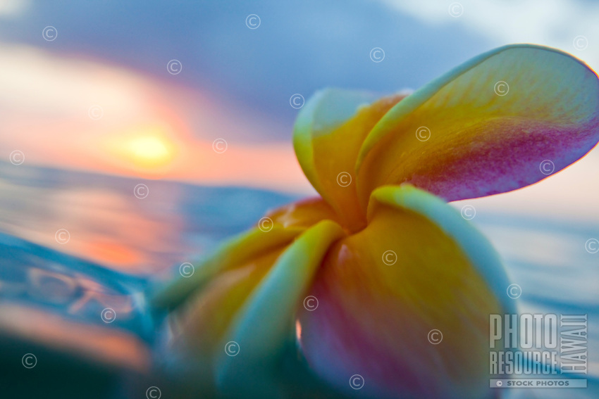 Plumeria floating in the ocean at sunset
