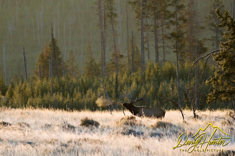 Bugling Bull Elk, Yellowstone National Park