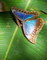 A large morpho butterfly found near the trail.