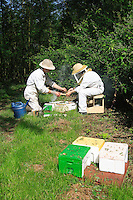 A queen-breeding apiary.