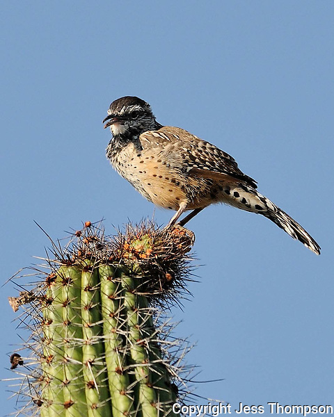 Cactus Wren, Arizona