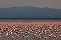 Large flock of lesser flamingos (Phoenicopterus minor) in Lake Nakuru, Kenya
