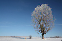 Lone Tree with Hoar Frost in Snow Covered Field against Clear Blue Sky in mid-Morning