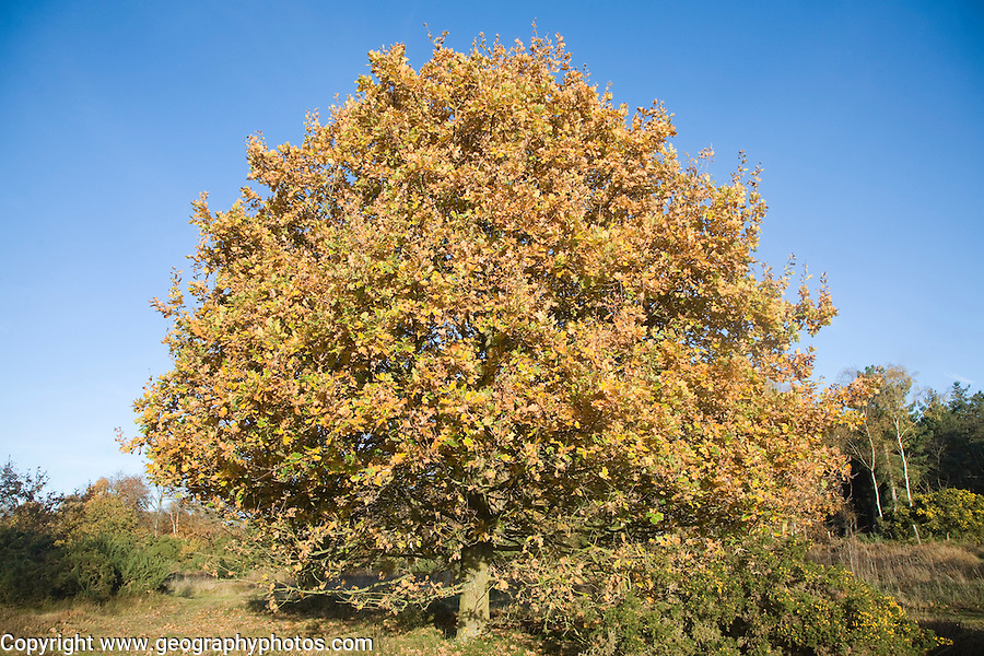 Quercus robur oak tree in autumn colour on Westleton Heath heathland near Dunwich, Suffolk, England