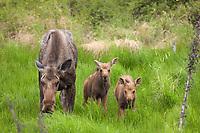 Cow moose with two spring calves feed on fresh spring green grasses, Arctic, Alaska.