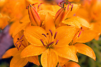 Raindrops on Yellow Wood Lilies (Lilium philadelphicum) blooming in Spring
