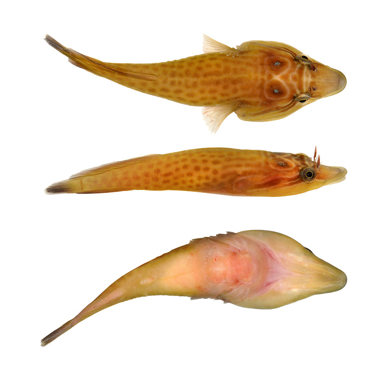 Shore ClingfishLepadogaster lepadogaster Length to 8cm<br /> Distinctive intertidal fish, found under rocks and in pools on lower shore. Adult is overall tadpole-shaped and broadly flattened, with a pointed snout. Colour is variable but typically yellow or orange with pattern of pale lines and dark spots, and 2 blue eyespots behind real eyes. Note also feathery tentacles in front of eyes. Pelvic fins are modified to form sucker, used for clinging to rocks. Widespread but local, commonest in SW from Dorset to N Wales.