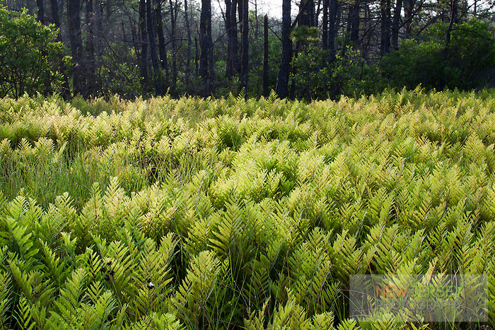 Marsh Fern meadow, Pine Barrens, New Jersey