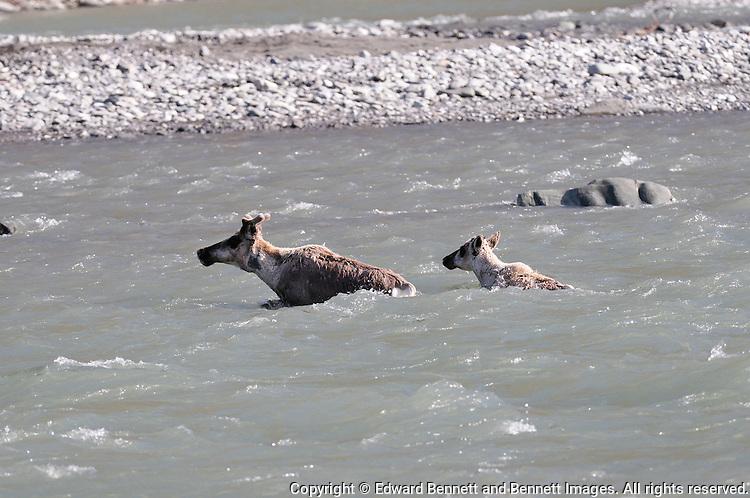 A female cariboiu and her child swim across the Kongakut River, in Alaska's Arctic National Wildlife Refuge.