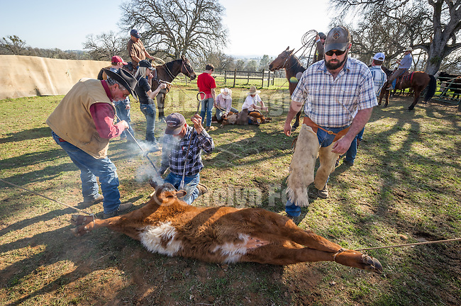 Late winter calf marking, branding and doctoring at the hilltop corral above the Busi Ranch in the Sierra Nevada Foothills of Amador County, Calif.