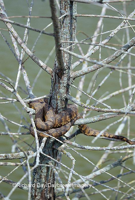 02845-00104 Diamondback Water Snake (Nerodia rhombifera) Barkhausen Wetlands Center, Cache River State Natural Area, IL