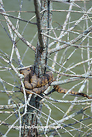 02845-00104 Diamondback Water Snake (Nerodia rhombifera) Barkhausen Wetlands Center, Cache River State Natural Area, IL