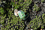 green, insect, bug, high elevation, Trail Ridge, alpine, tundra, summer, July, day, morning, Rocky Mountain National Park, Colorado, USA