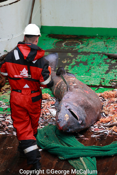 Fisherman inspecting Greenland shark Somniosus microcephalus caught as bycatch in bottom trawl lying on trawl deck Barents sea North Atlantic